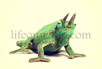 Vintage filter effect with soft style of a Jackson's horned chameleon looking at camera against colored background