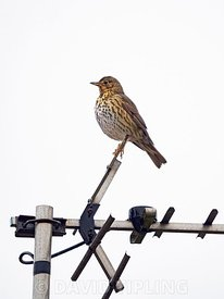 Song Thrush, Turdus philomelos on TV aerial, Cley, Norfolk, March