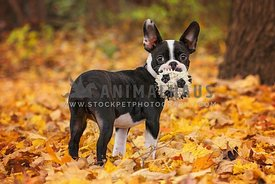 Boston terrier puppy with small soccer ball