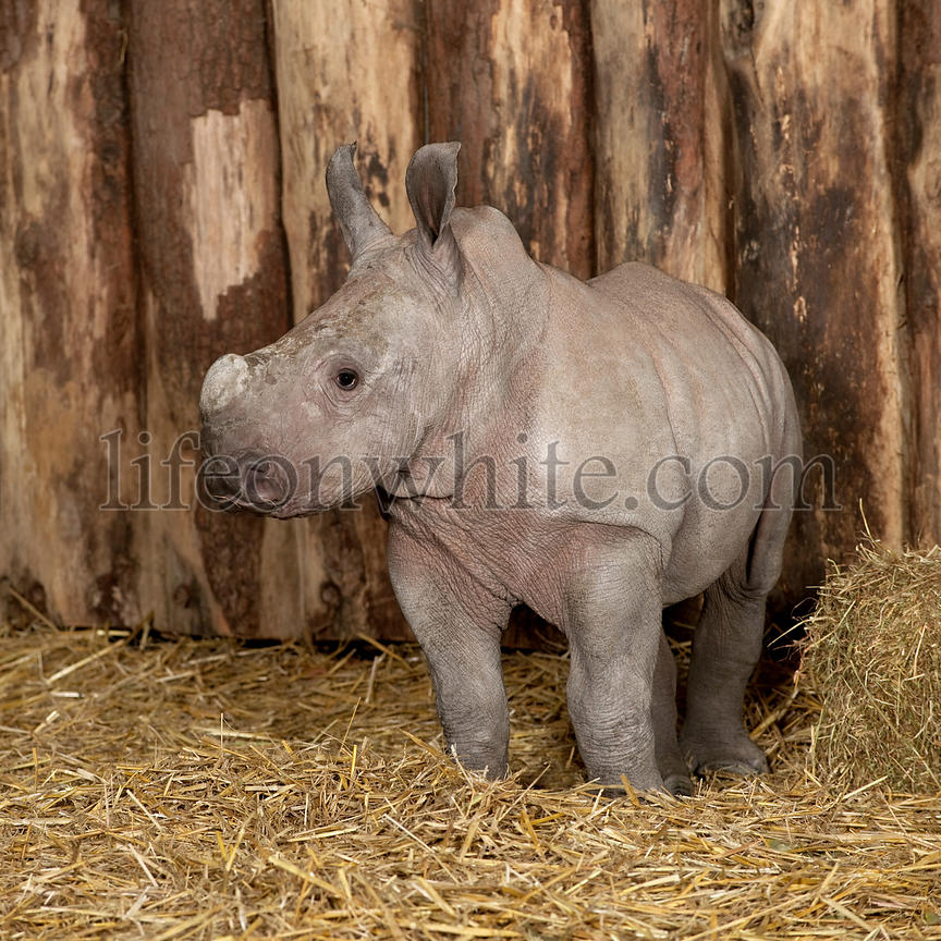 young White Rhinoceros or Square-lipped rhinoceros - Ceratotherium simum (2 months old)