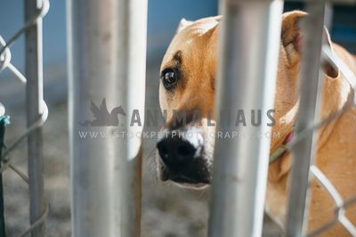 A large dog peering through the fence at an animal shelter