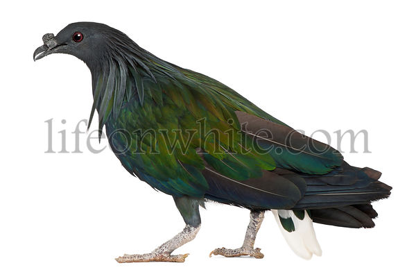 Nicobar Pigeon, Caloenas nicobarica, in front of white background