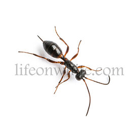 View from up high of a Gelis, Ichneumonid Wasp, isolated on white