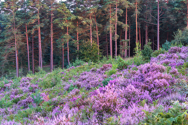Heather and Pine trees