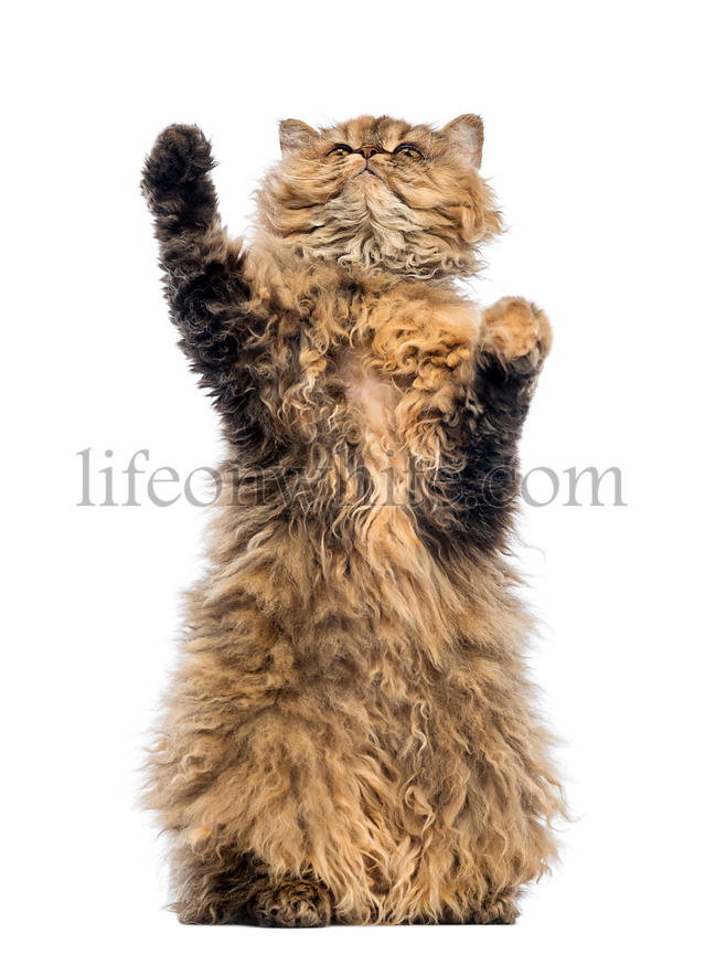 Selkirk Rex, 5 months old, standing on hind legs and reaching against white background