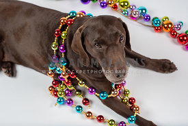 chocolate lab laying in white studio with color necklace of Christmas balls