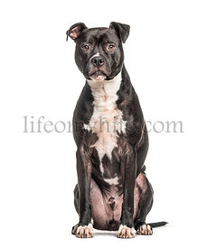American Staffordshire Terrier, isolated on white