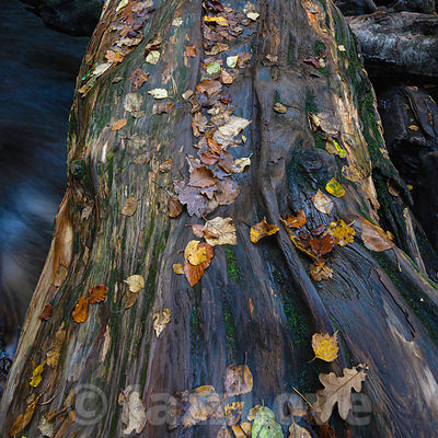 Tree trunk covered with wet leaves in autumn.