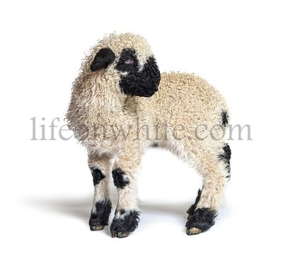 Profile Lamb Blacknose sheep three weeks old looking back, isolated on white