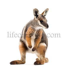 Yellow-footed rock-wallaby, Petrogale xanthopus, kangaroo, wallaby standing against white background