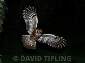 Tawny Owl Strix aluco North Norfolk