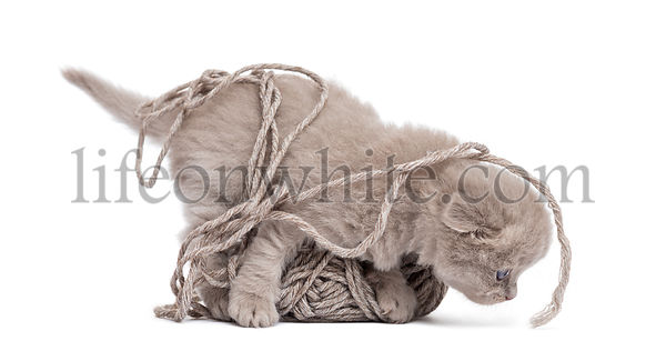 Side view of a Highland fold kitten playing with a wool ball, isolated on white