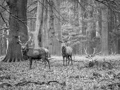 Stags in the forest
