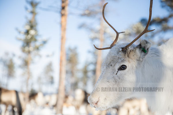 White reindeer close up