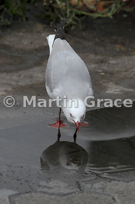 Red-Billed Gull (Larus novaehollandiae scopulinus) drinking from a puddle, Auckland Waterfront, Auckland, North Island, New Z...
