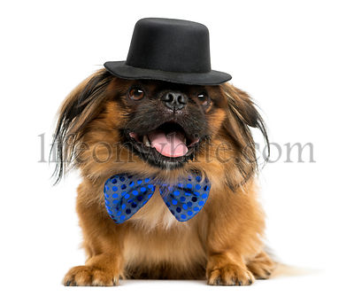 Pekingese with a bow tie and top hat, lying and panting, isolated on white