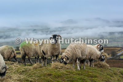 Swaledale sheep on a hill pasture in the Wensleydale eating hay on a quiet winters day. North Yorkshire, UK.