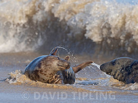 Grey Seal Halichoerus grypusmale and female  Horsey Norfolk.