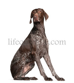German Shorthaired Pointer, 4 years old, sitting against white background