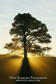 Image - Backlit Scots Pine tree with sunburst