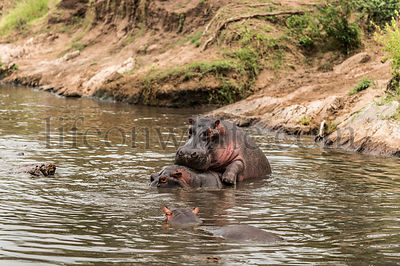 Hippos mating in river, Serengeti, Tanzania, Africa