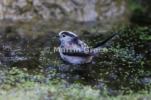 Long-Tailed Tit (Aegithalos caudatus) standing on vegetation in the garden pond as it bathes, Lake District National Park, Cu...