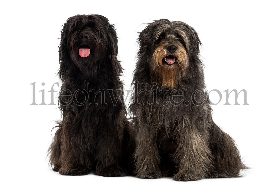 Couple of Catalan sheepdogs together, panting, isolated on white