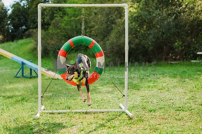 A kelpie doing agility and jumping through a tire obstacle