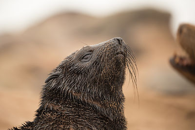 Cape Fur Seal Pup In A Wet Sandy Coat