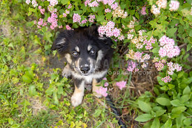 An Australian shepherd puppy next to pink flowers
