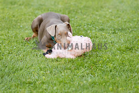 A doberman puppy playing with a toy outside