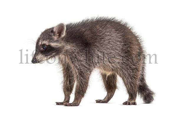 Side view of a standing Young Raccoon, isolated