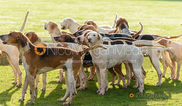Hounds at the meet - Fitzwilliam Hunt Opening Meet