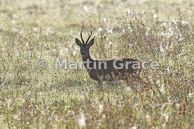 Roe Deer buck (Capreolus capreolus) in a meadow full of spiders' webs and Black Knapweed (Centurea nigra), wonderfully backli...