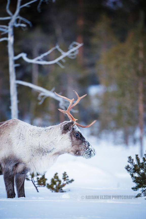 Reindeer in the forest in Finnish Lapland