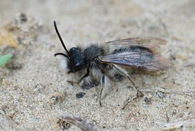 Closeup of a fresh emerged male of the endangered Dawn bee, Andrena nycthemera on sandy soil