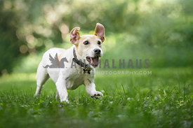 Jack Russel Terrier running in the grass