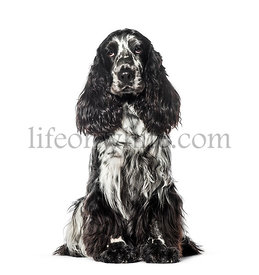 Cocker sitting in front of white background