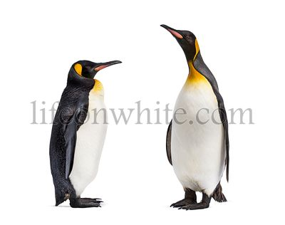 Two King penguin facing each other, isolated on white