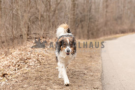 An English shepherd walking towards the camera