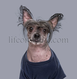 Chinese Crested Dog , 5 years old, in blue clothing against grey background