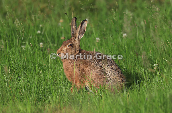 European Brown Hare (Lepus europaeus) in evening sunlight in a meadow, Cairngorm National Park, Scotland