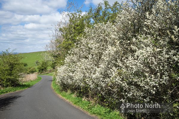 CASTERTON 54A - Blackthorn hedging