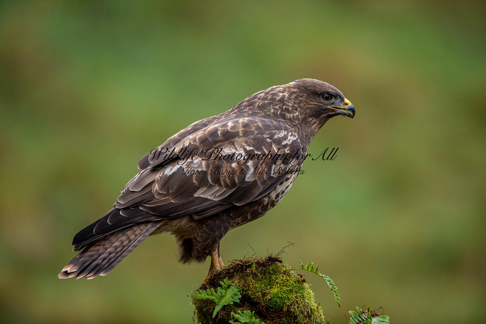 Buzzard - Mike Roberts