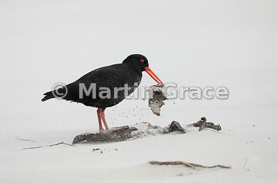 Foraging Dark morph Variable Oystercatcher (Black Oystercatcher) (Haematopus unicolor) shakes the sand off some kelp, Allan's...