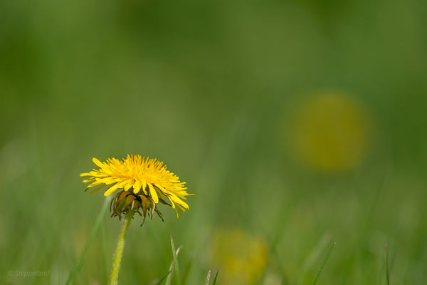 One dandelion flower in  a lawn with many