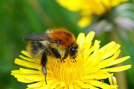 A queen of a common carder bumblebee , Bombus pascuorum on a dandelion, Taraxacum officinale