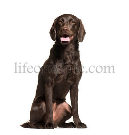Labrador Retriever, 1 year old, sitting in front of white background
