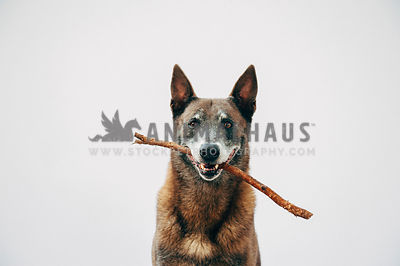 Older malinois in the studio holding a stick with a big smile
