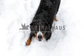 A Bernese Mountain Dog playing in the snow